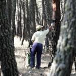 Recolección de resina en Tabuyo del Monte después del incendio de Castrocontrigo. / Foto: Carlos S. Campillo