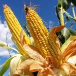 Fotografía de archivo de un campo de maíz.