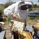 Un apicultor realiza trabajos en una colmena.