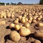 Fotografía de archivo de un campo de cultivo de patatas durante la época de recolección.